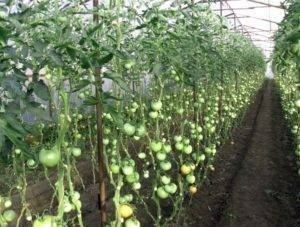 Зачем удалять листья у томатов, и как это делать правильно