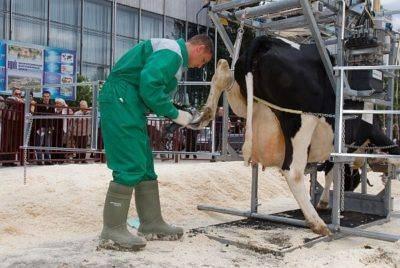 Копытная гниль у коров, овец, коз. симптомы, лечение, профилактика