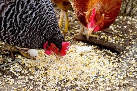Каким зерном кормить кур