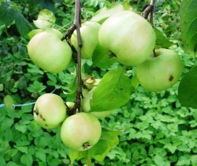 О яблоне Братчуд: описание сорта, характеристики, агротехника, выращивание