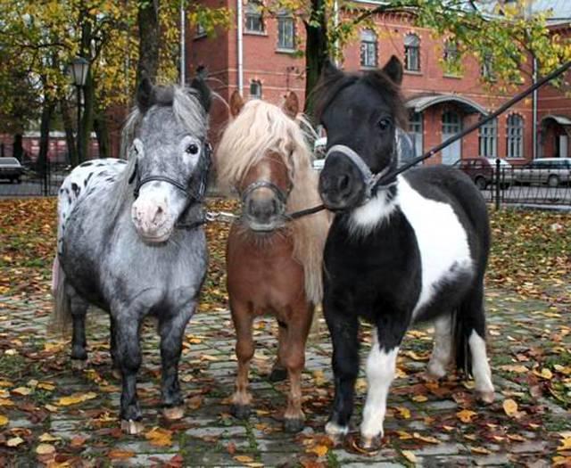 Породы мини-лошадей и их содержание