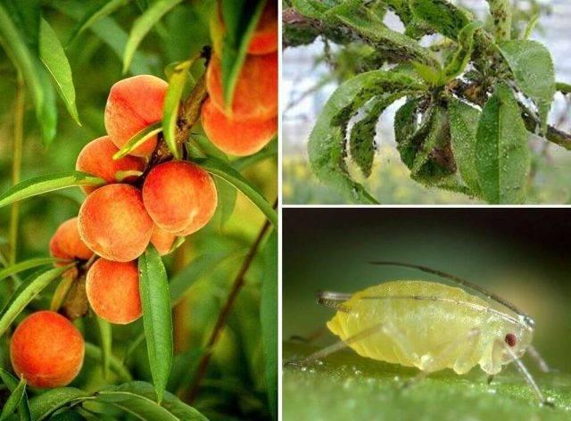 Болезни и вредители дерева персик - общая информация - 2020