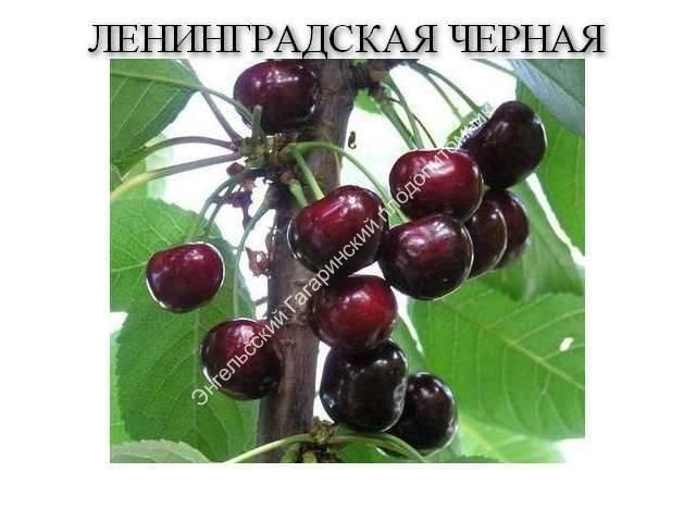 Черешня ленинградская черная: описание, требования и условия выращивания