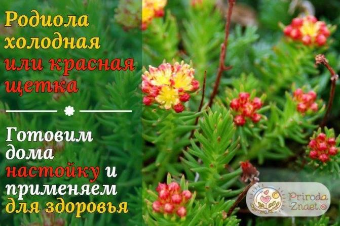 Красная щетка (родиола)