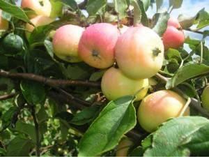 Яблоня сорта пирос — особенности посадки и ухода