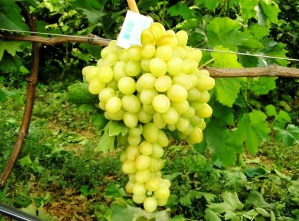Сорт винограда «аркадия» описание с фото и видео