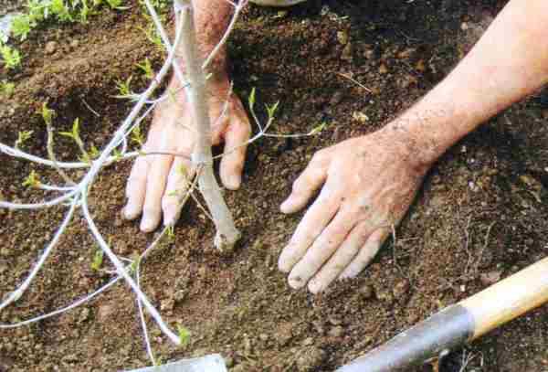 Посадка яблони весной в открытый грунт: сроки, как правильно сажать (фото)