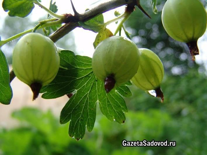 Как сажать осенью малину, смородину, крыжовник | красивый дом и сад