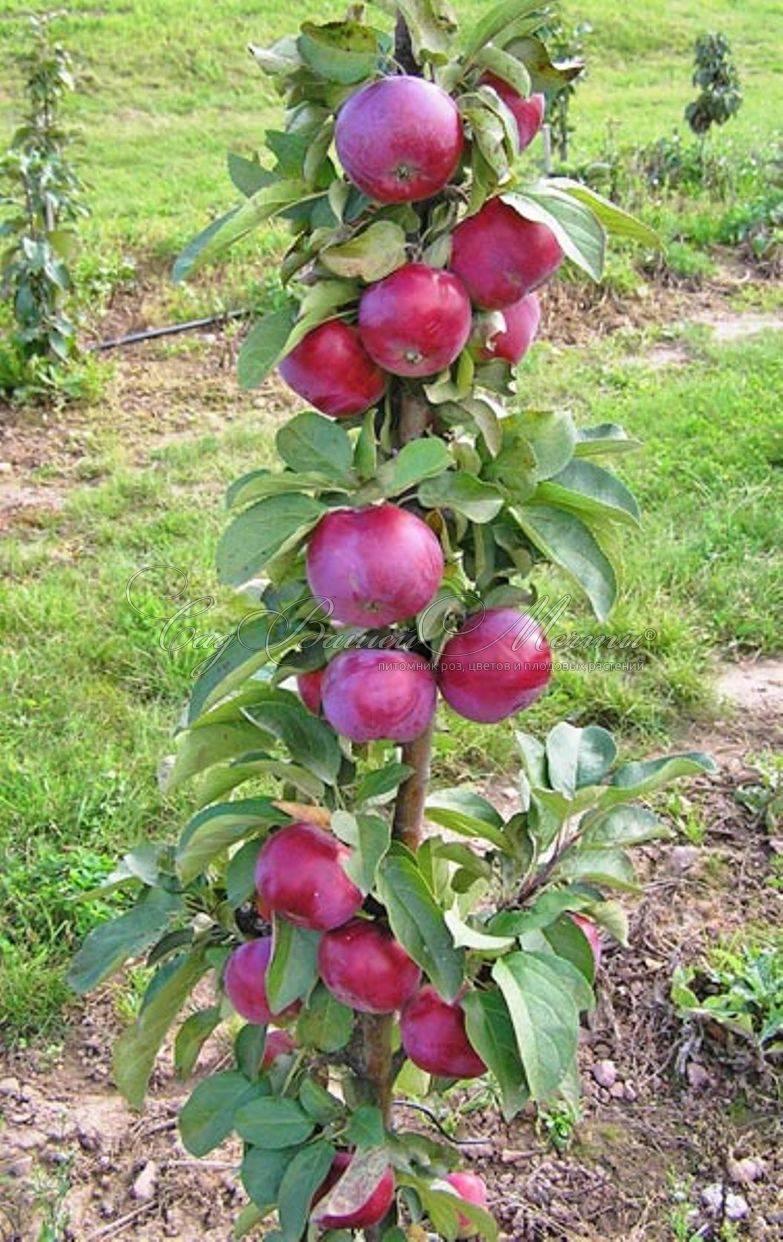 О колоновидной яблоне Джин: описание и характеристики сорта, посадка и уход