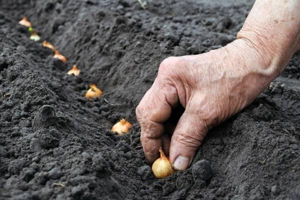 Почему лук идет в стрелку: причины и решения проблемы