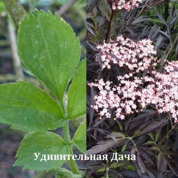 Применение цветков чёрной бузины