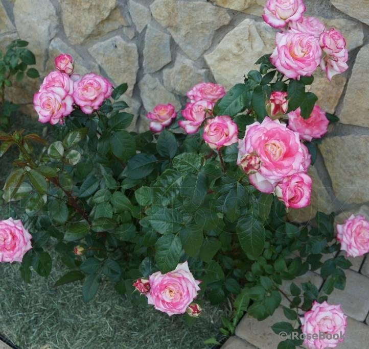 Роза флорибунда: сорта и уход
