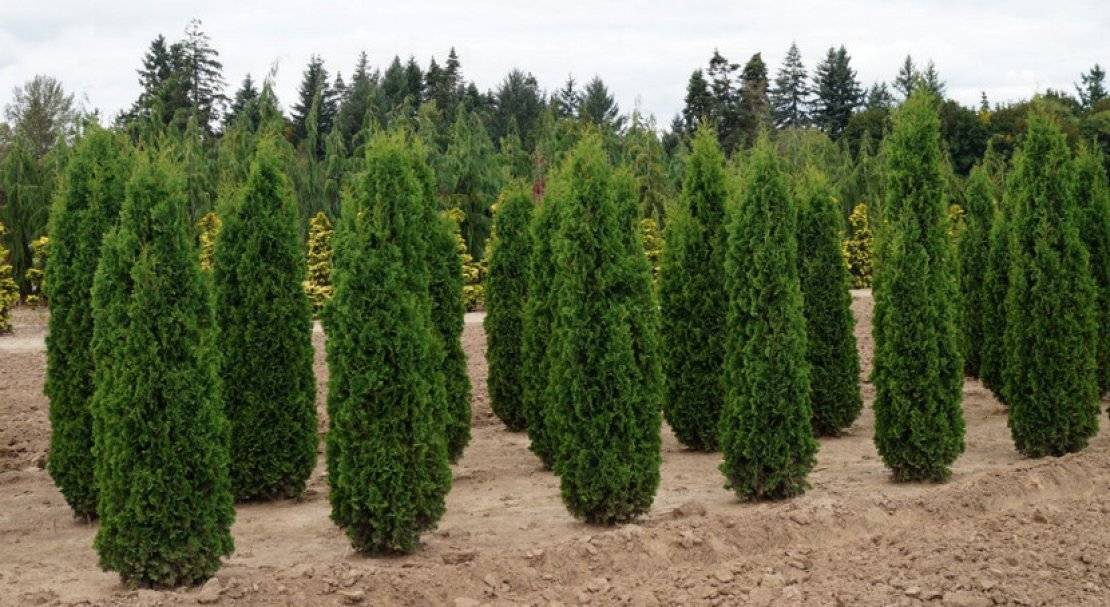 О туе Колумна западная: описание сорта, как посадить и ухаживать за растением