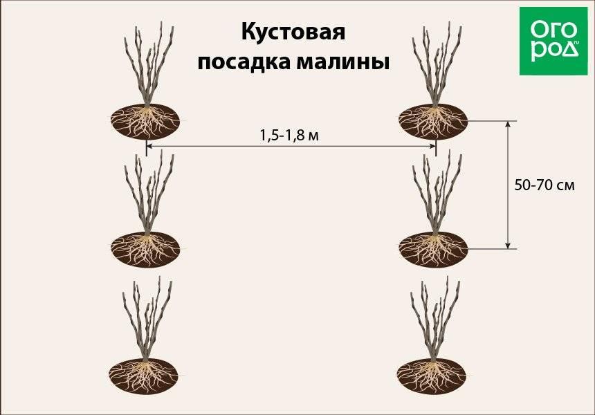 Как правильно сажать малину: пошаговая инструкция для начинающих. схема посадки малины