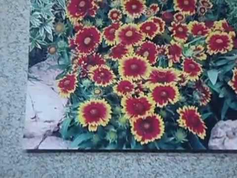 Гайлардия однолетняя, особенности посадки и ухода за яркой красоткой