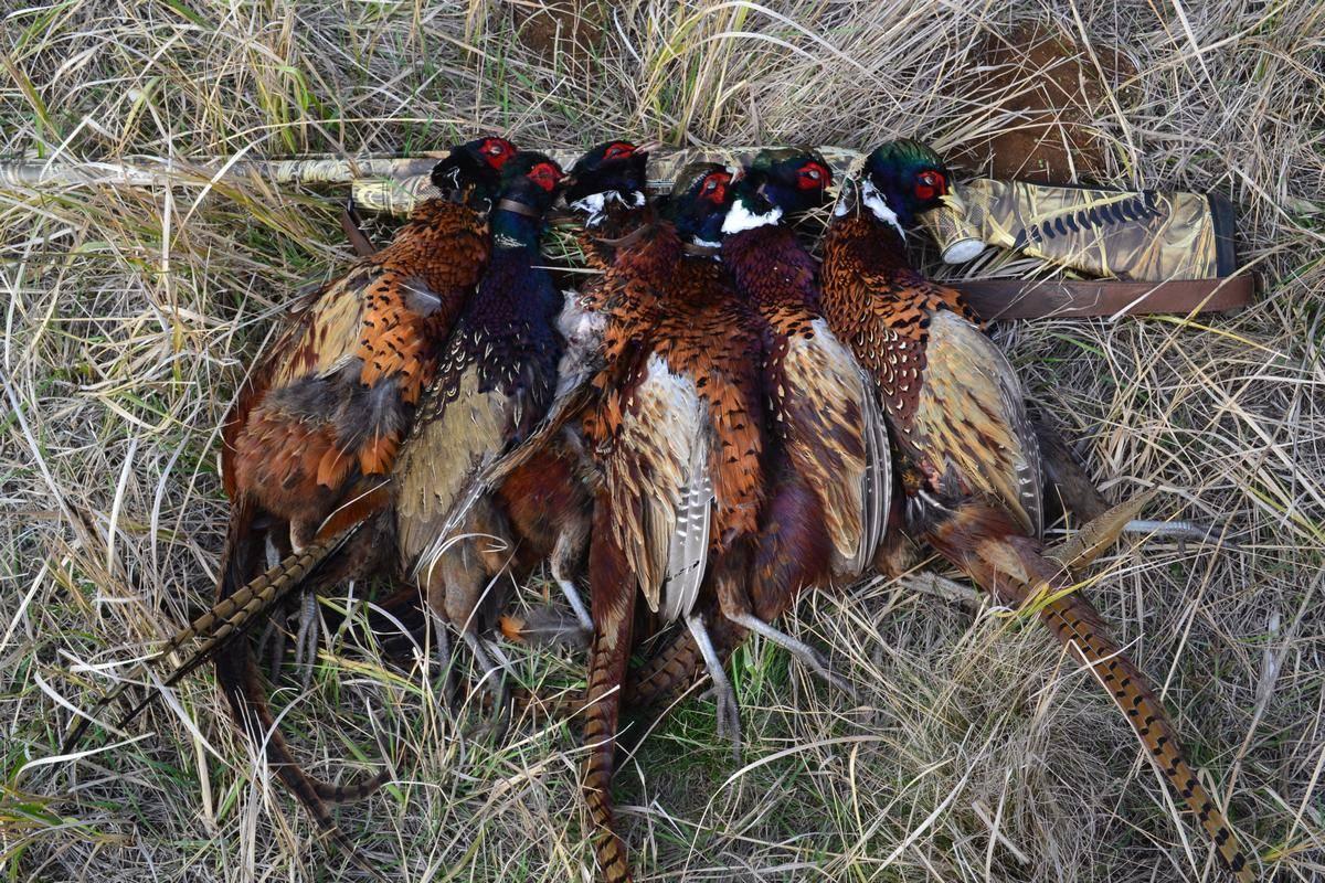 Как сделать ловушки для фазанов