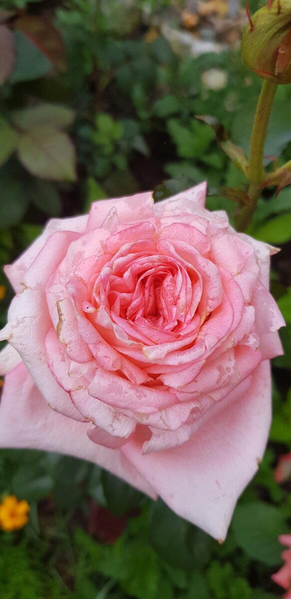 Обрезка роз и удаление дикой поросли фото