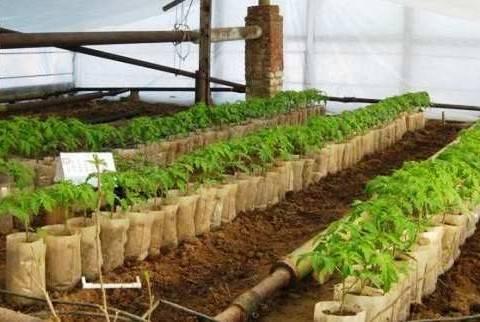 Выращивание помидоров в теплице: технология пленочной конструкции для получения урожая больших сладких томатов, как правильно выполнить посадку, полив и уход?