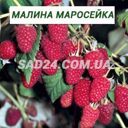 Краса россии: советы по уходу за крупноплодной малиной
