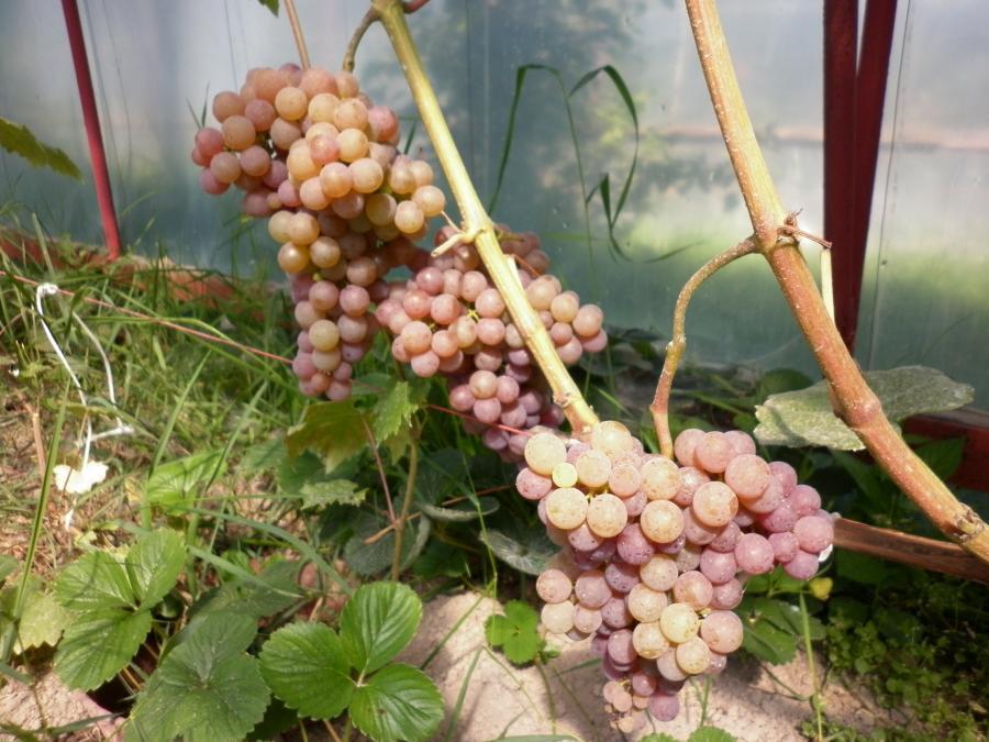 Описание и характеристики винограда сорта рилайнс пинк сидлис, история и правила выращивания