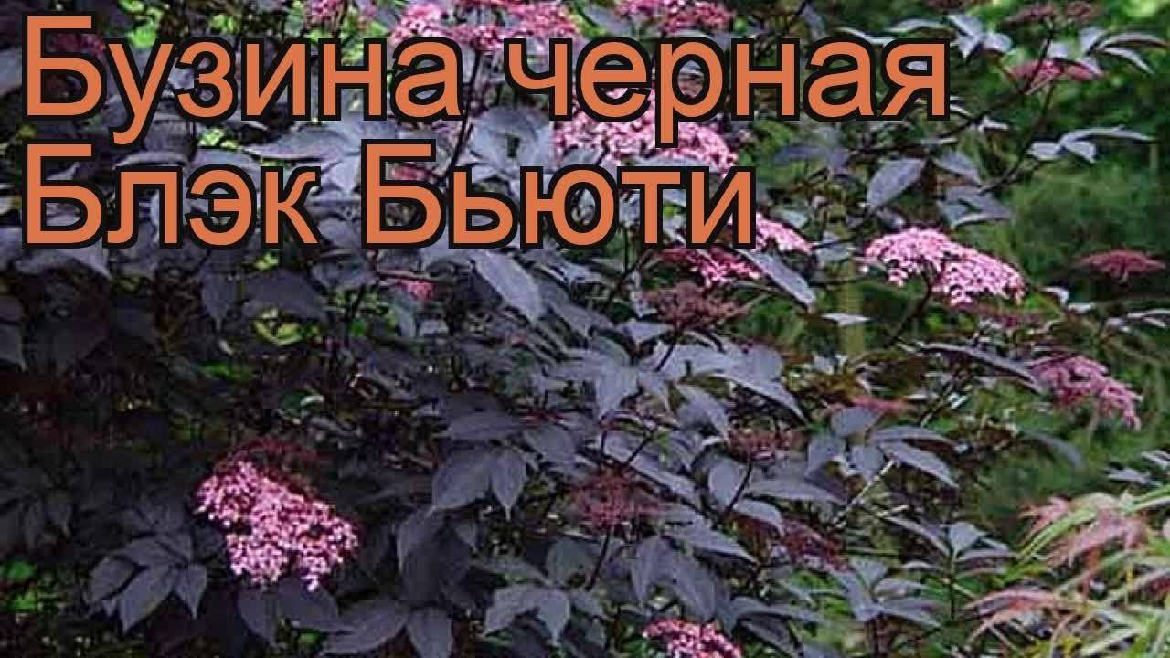 Сорта и виды красной и черной бузины