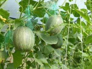 Агротехника выращивания арбузов в подмосковье