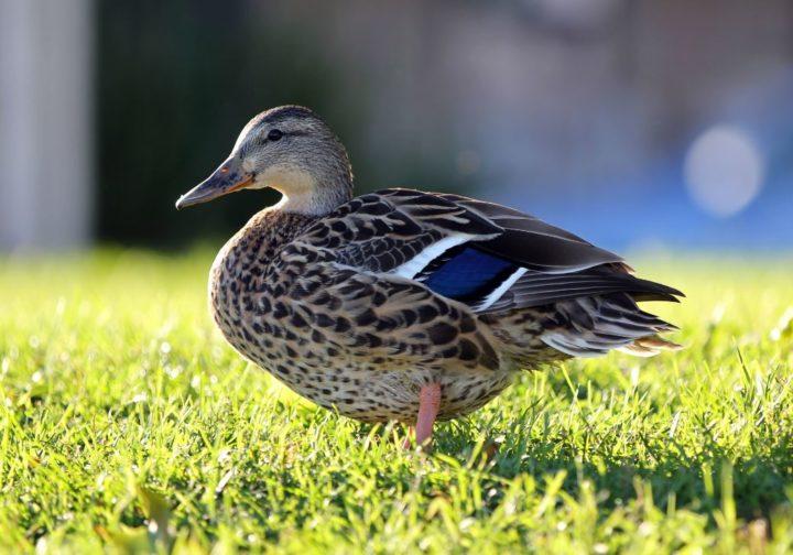 Чем кормить уток — что едят утки, чем можно и чем нельзя кормить уток. правила содержания птицы (95 фото и видео)