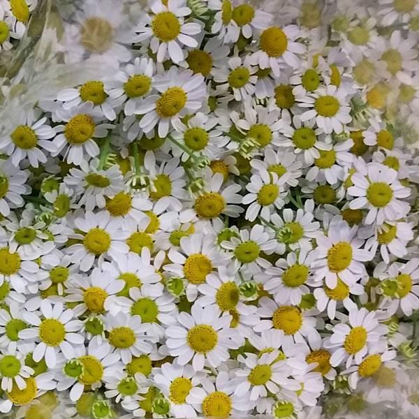 Сорта ромашки садовой многолетней крупной (большой, кустовой, гигантской)