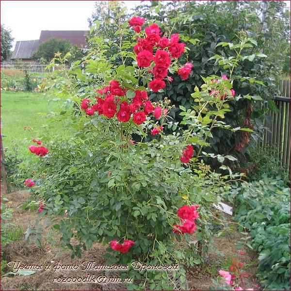 Характеристики розы аделаида худлесс