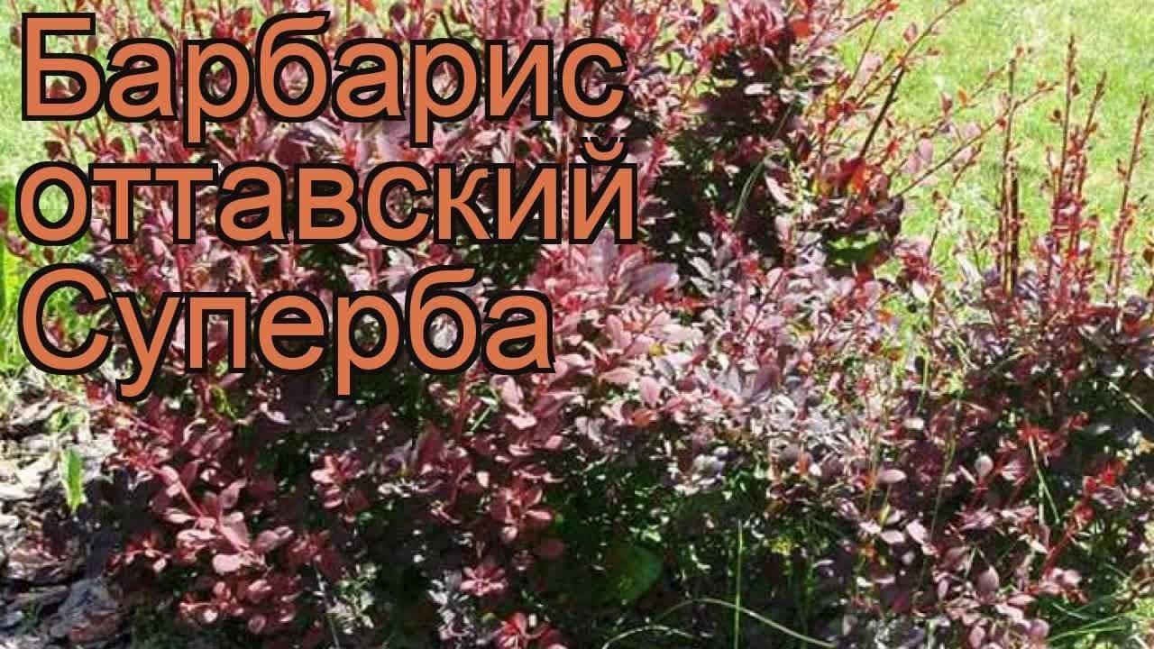 Барбарис оттавский: описание и сорта, посадка и уход