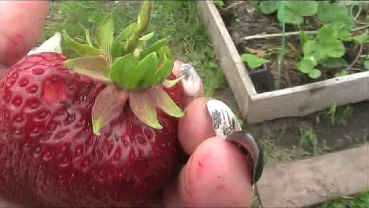 О клубнике цунаки: описание японского сорта, агротехника посадки и выращивания
