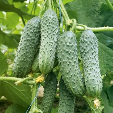 Партенокарпические сорта огурцов для теплицы - выращивание самостоятельно!