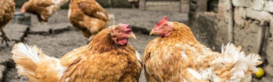 Почему куры выщипывают друг у друга перья и их едят, что делать если они клюются до крови?