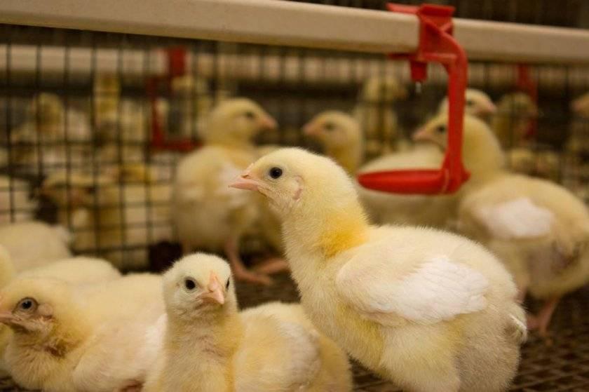 """Байкокс для бройлеров инструкция по применению. как применять """"байкокс"""" для цыплят: инструкция по применению"""