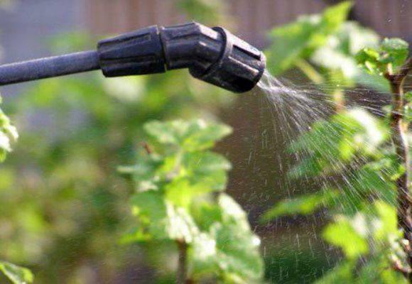 Чем обработать крыжовник весной: удобрения, опрыскивание, обливание