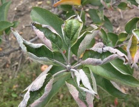 Почему у яблони скручиваются листья, что делать для лечения?