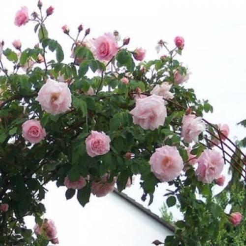 Обзор роза плетистая нью даун ️