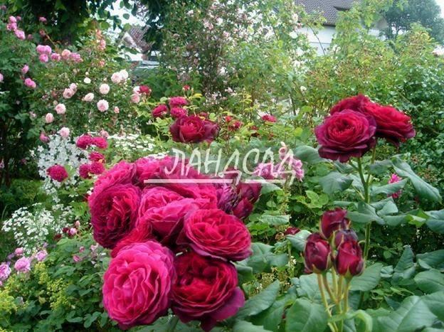 Роза флорибунда герцогиня кристиана — букет фруктовых ароматов