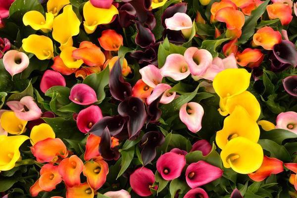 Каллы цветы выращивание в саду в сибири