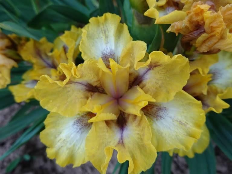Многолетнее растение ирис: фото, описание, посадка и уход за бородатыми и безбородыми ирисами