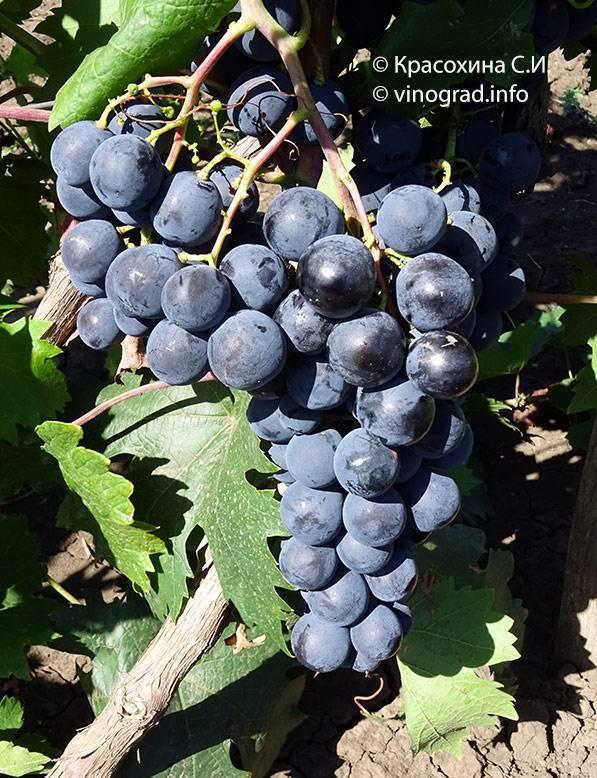 Страшенский — чёрный матовый сорт винограда с нежной мякотью