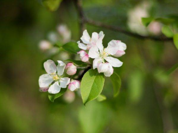 Когда цветут яблони? нужно ли в первый год цветения обрывать цветки у яблони? в каком месяце зацветает яблоня.