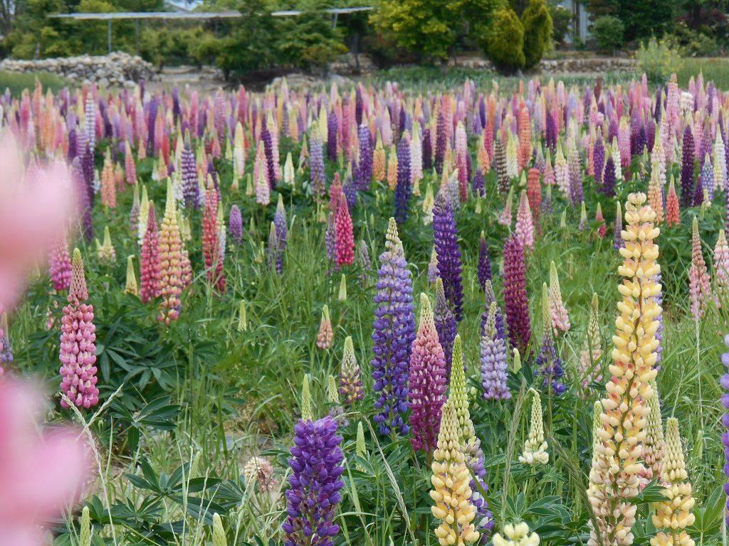 Люпин — разноцветные ракеты нашего сада. особенности посадки и ухода