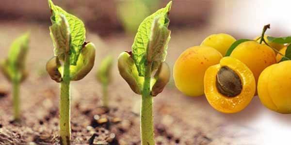 Осенняя посадка саженцев абрикоса: правила по уходу и подготовка к зиме