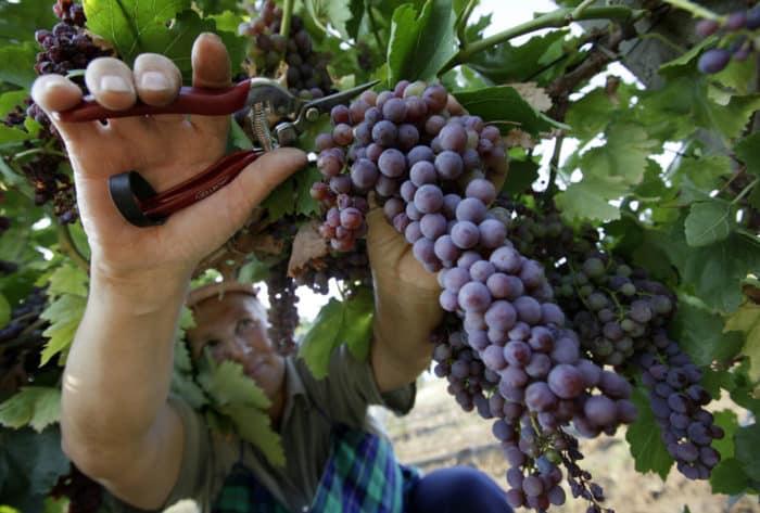 Вино из винограда мукузани в домашних условиях