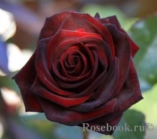 Особенности выращивания розы «чёрная магия»