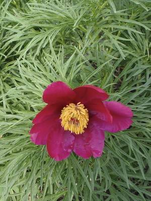 Древовидные пионы - 90 фото выращивания из семян лучших сортов пионов