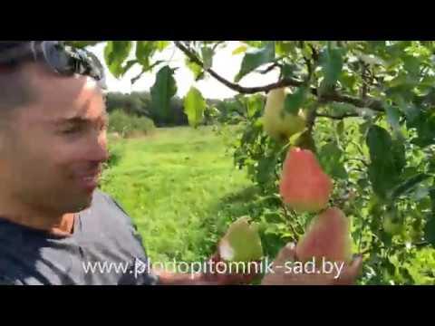 Груша русская красавица: выбор садоводов