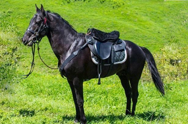 Кабардинская лошадь — википедия. что такое кабардинская лошадь