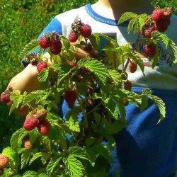 "Малина ""крепыш"": описание сорта и особенности агротехники"